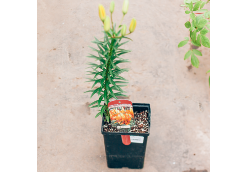 "Lily Asiatic Pot Tiny Orange Sensation 5.5"""