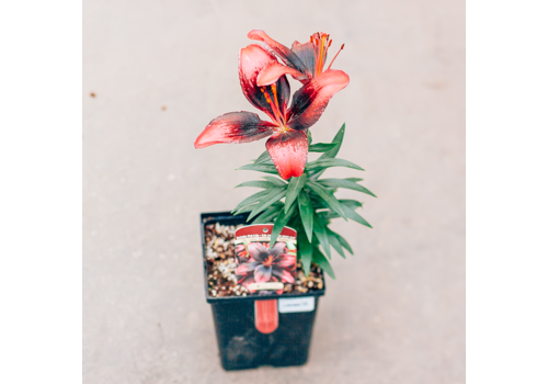Lily Asiatic Pot Tiny Poems 5.5""