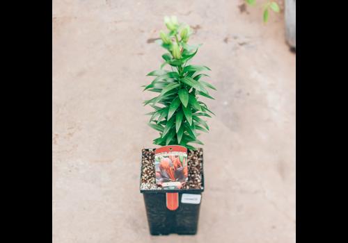 "Lily Asiatic Pot Tiny Shadow 5.5"""