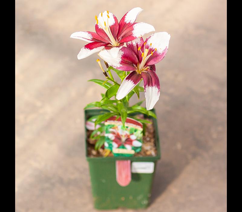 "Lily Asiatic Pot Tiny Padhye 5.5"""