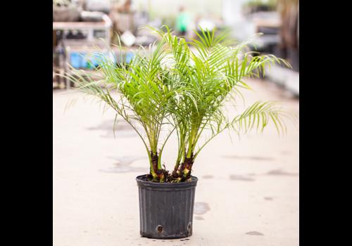 Pygmy Date Palm Multi
