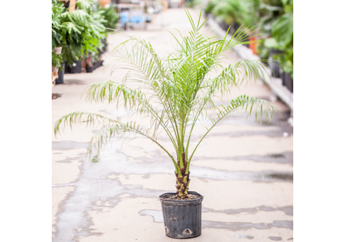 Pygmy Date Palm Single