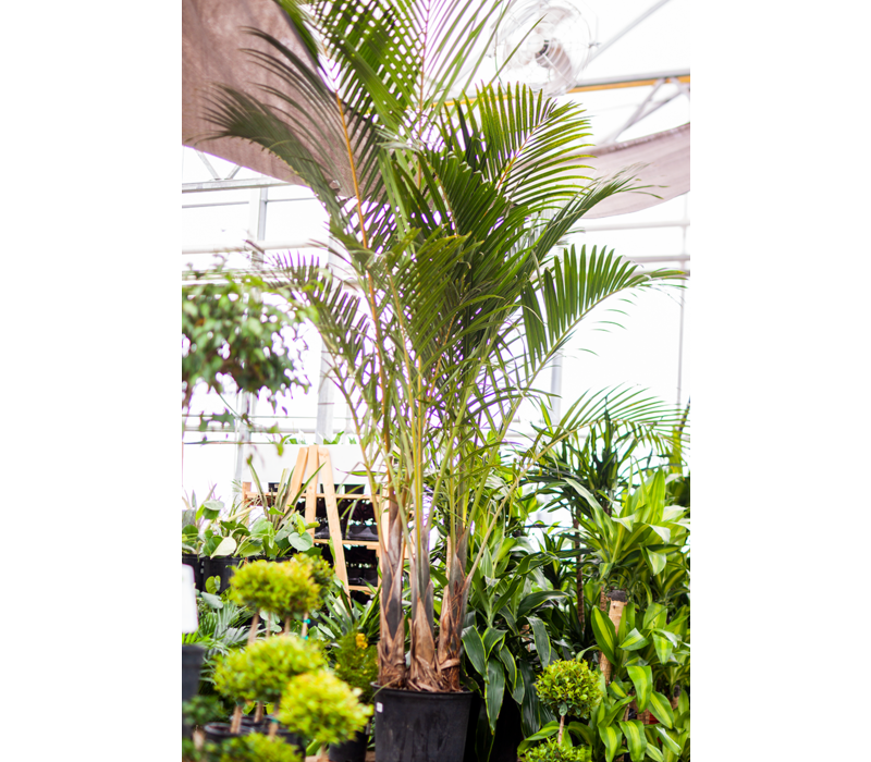 """Spindle Palm Multi 14"""""""