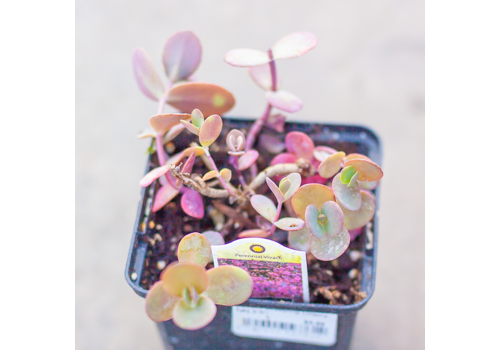 Sedum Creeping Cherry Tart