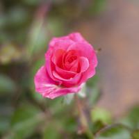 Rose Aurora Borealis 2gal