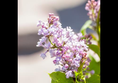 Lilac Scentara Double Blue