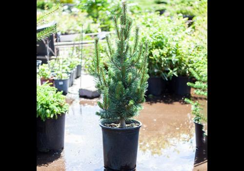 Pine Mugo Tannenbaum 5gal