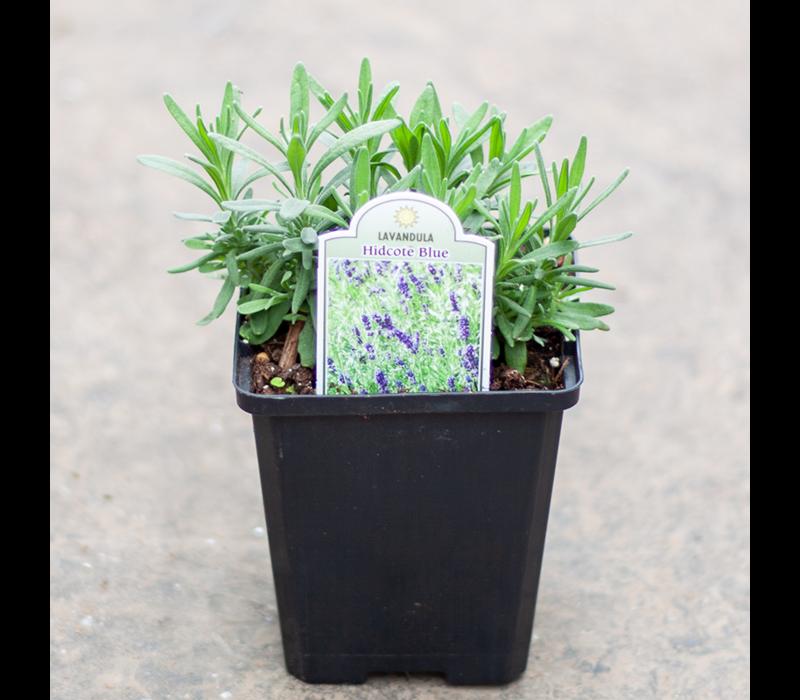 """Lavender Hidcote Blue 3.5"""""""