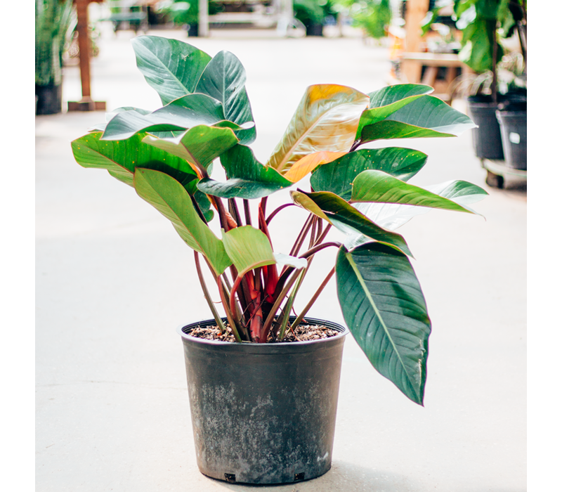 Philodendron Red Congo 14""
