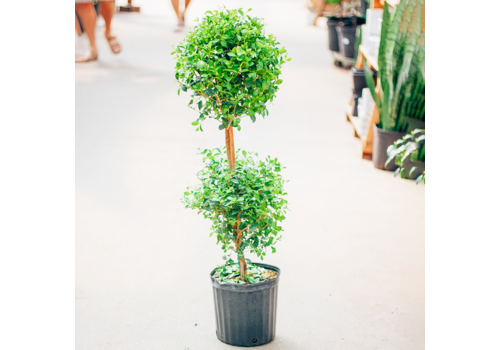 Eugenia Topiary 2 Ball
