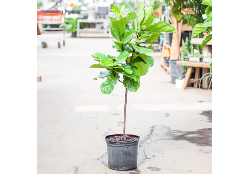 Dutch Growers Ficus Fiddle Leaf