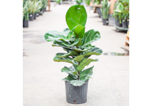 Dutch Growers Ficus Fiddle Leaf Bush
