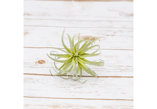 #22-19 Artificial Succulents Air Plant 17x10cm