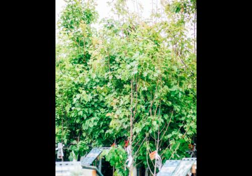Maple Hot Wings Tree