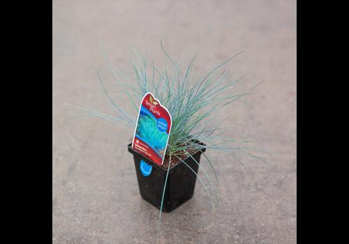 "Grass Siskiyou Blue Fescue 3.5"""