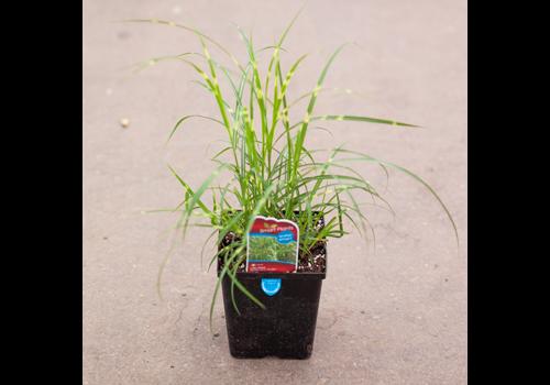 """Grass Little Zebra 5.5"""""""