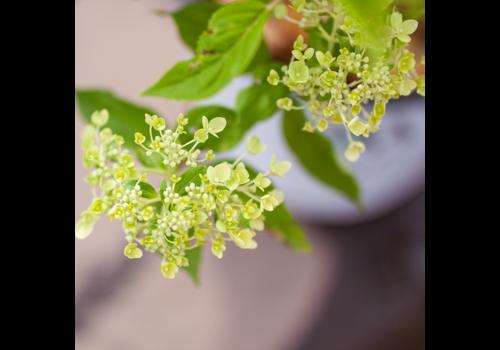 Hydrangea Little Lime