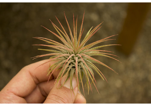Air Plant Ionantha Red Large