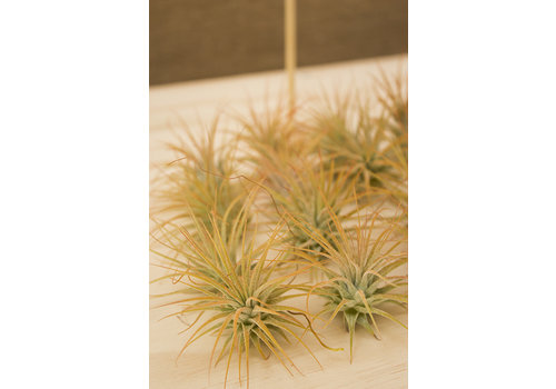 Air Plant Ionantha Orange