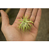 Air Plant Ionantha Mexico Small