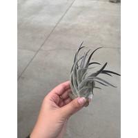 Air Plant Recurvifolia Black
