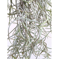 Air Plant Usneoides Thick Form