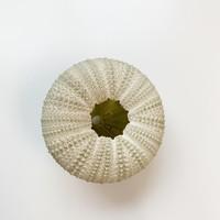 "Green Urchin 2-2.25"""