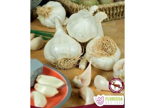 Garlic German White Hardneck Tops Package of 3