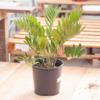 """Dutch Growers Zamia Cardboard Palm 10"""""""