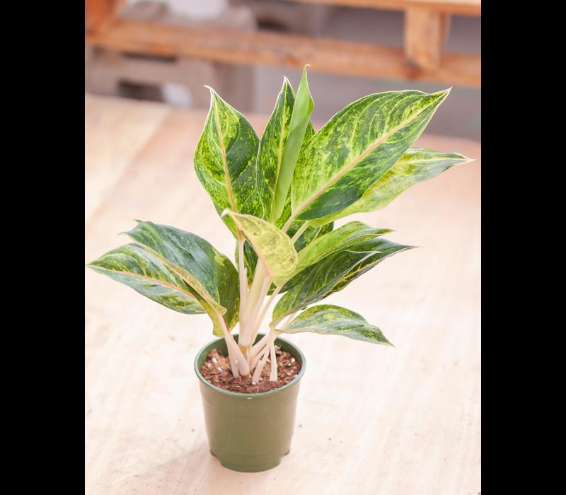 Chinese Evergreen Green Papaya