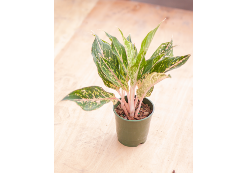 Chinese Evergreen Sparkling Sara 5""
