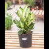 """Dutch Growers Dieffenbachia Tropic Marianne 10"""""""