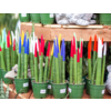 """Dutch Growers Snake Plant Painted Cylindrica Fingers 5"""""""