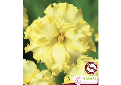 Narcissus Sunnyside Up Package of 5