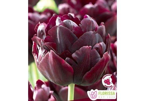 Tulip Black Hero Package of 6