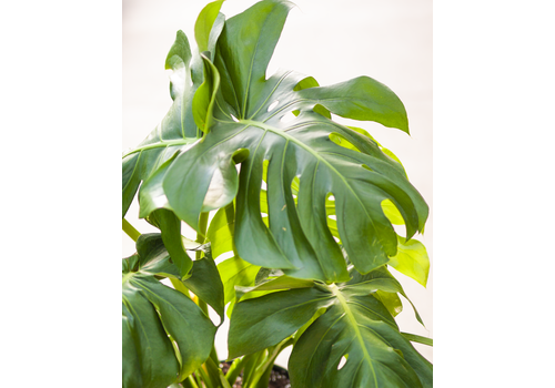 "Dutch Growers Monstera Split Leaf 12"""
