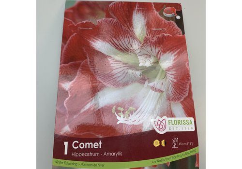 Amaryllis Christmas Bloom Comet