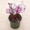 """Begonia Rex 4"""""""