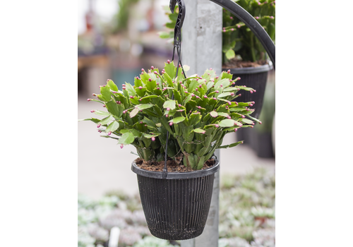 "Dutch Growers Zygo Cactus Hanging Basket 8"""