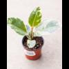 Ficus Rubber Tineke