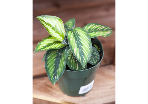 Dutch Growers Calathea Beauty Star 6""