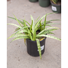 "Dutch Growers Snake Plant Galaxy 6"""