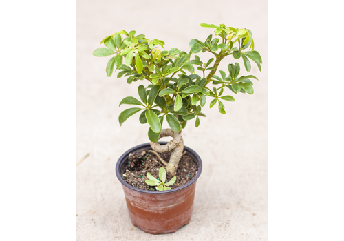 Dutch Growers Umbrella Plant Coiled Luseane 4""
