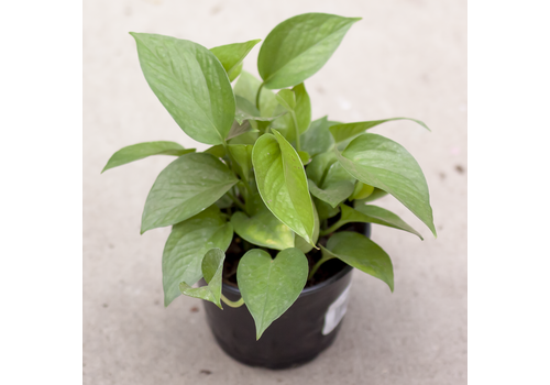 Dutch Growers Pothos Jade Jewel 6""