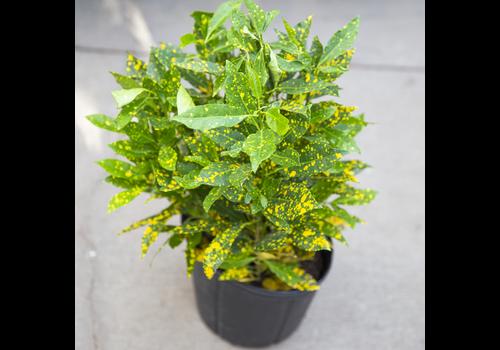 Dutch Growers Croton Gold Dust