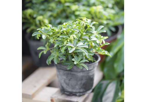 "Dutch Growers Umbrella Plant Luseane 6"""