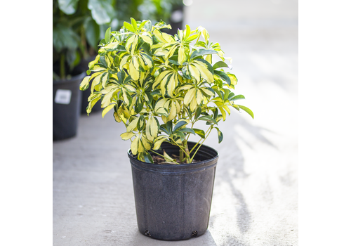 "Umbrella Plant Trinette Bush 10"""