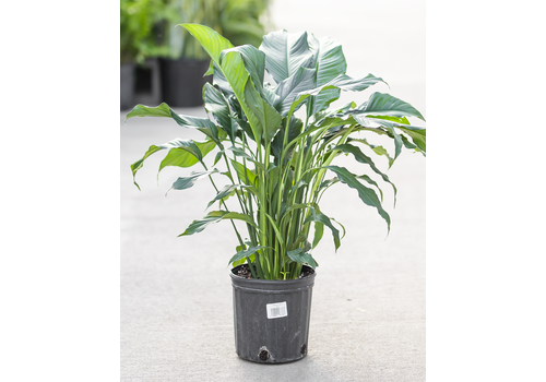 Dutch Growers Peace Lily Malibu 8""