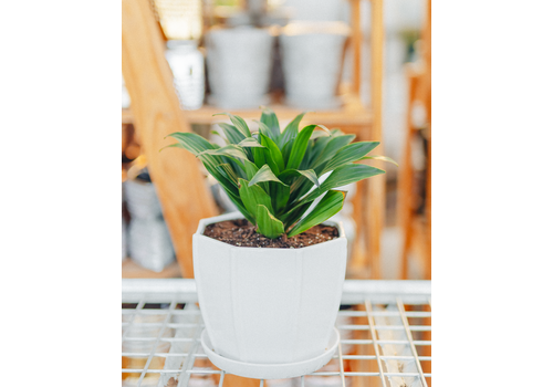 Dutch Growers Easy To Love Potted Dracaena Janet Craig