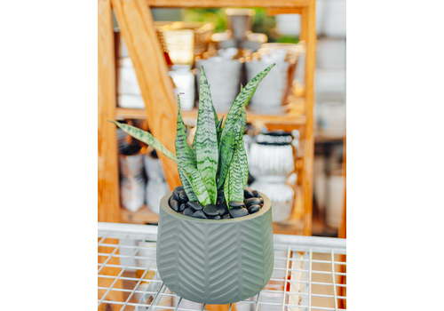 Dutch Growers Georgie Guy Potted Snake Plant